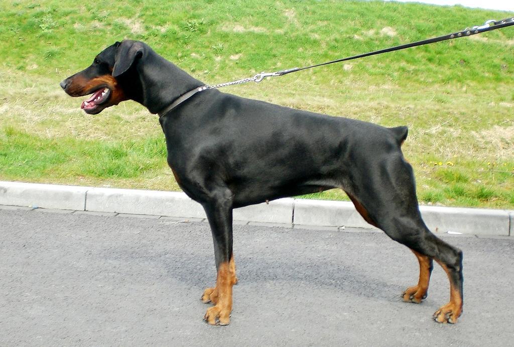 Kruising dobermann rottweiler