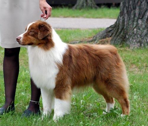 sectie herdershonden | rassen | honden & hondenrassen