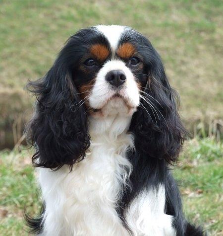 Cavalier King Charles Spaniël Rassen Honden Hondenrassen