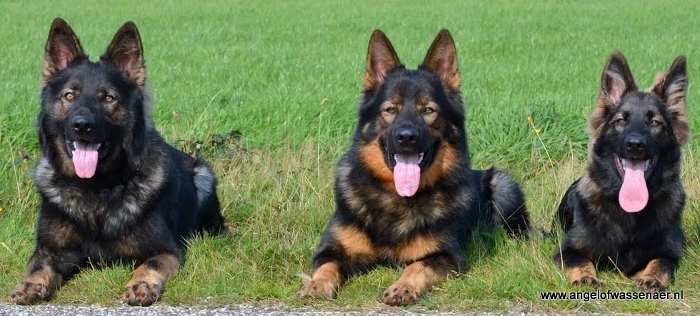 Oudduitse Herder | Rassen | Honden & Hondenrassen: http://www.hondenrassen.nl/rassen/oudduitse-herder/