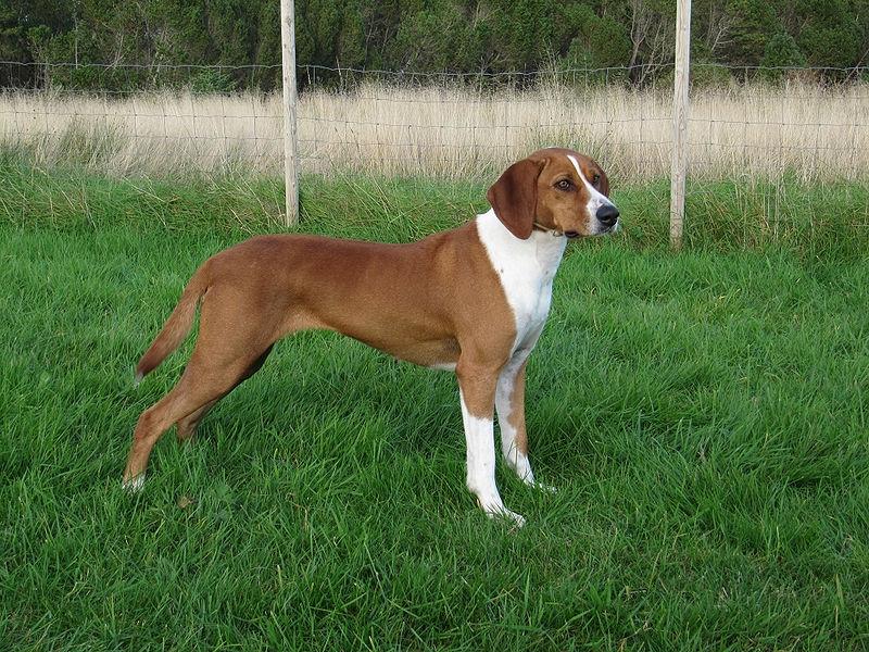 Hygenhund   Rassen   Honden & Hondenrassen
