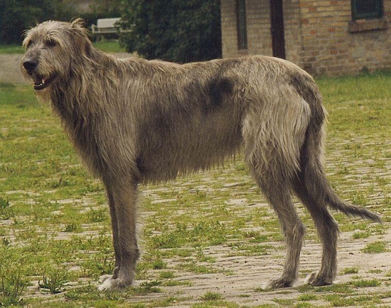 Sectie Ruwharige windhonden   Rassen   Honden & Hondenrassen