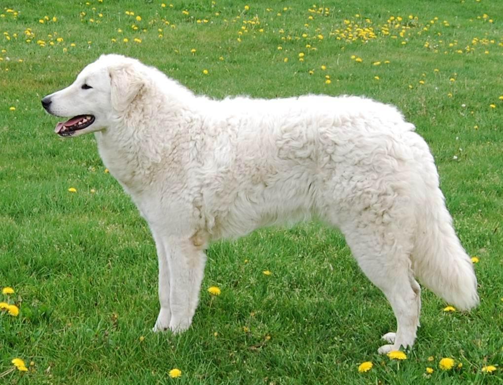 Rasgroep 1: Herdershonden en veedrijvers | Rassen | Honden ...: www.hondenrassen.nl/rassen/groep/1/rasgroep-1-herdershonden-en...