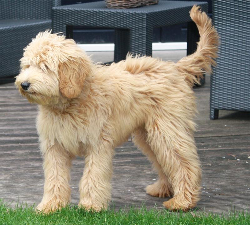 adorable morris (roepnaam morris)   show je hond   honden & hondenrassen