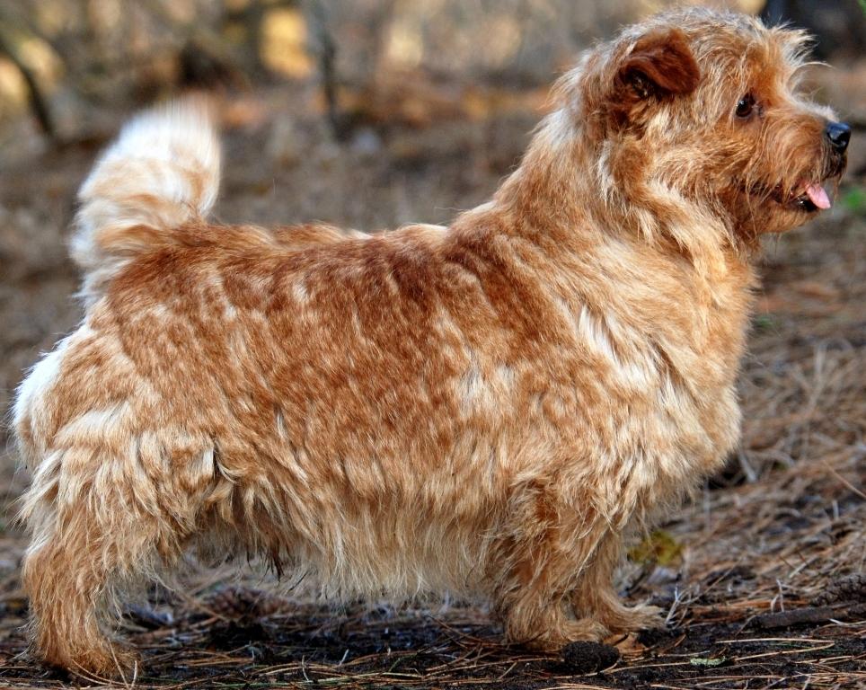 Rasgroep 3: Terriërs | Rassen | Honden & Hondenrassen