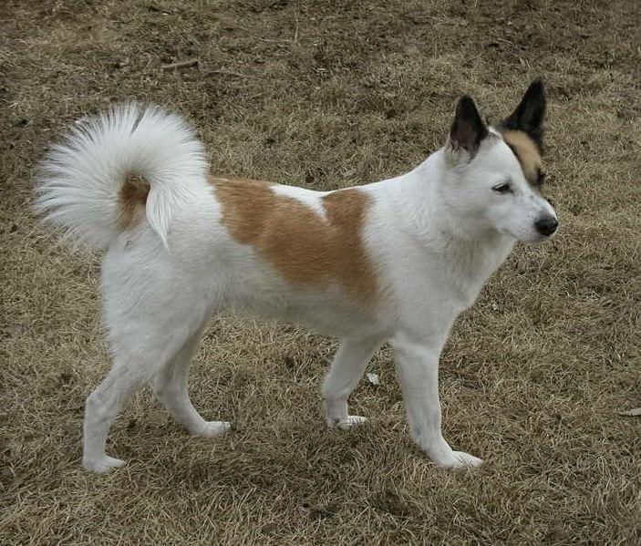 Sectie Scandinavische Jachthonden Rassen Honden
