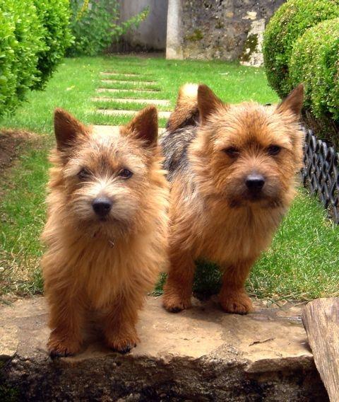 karakter border terrier