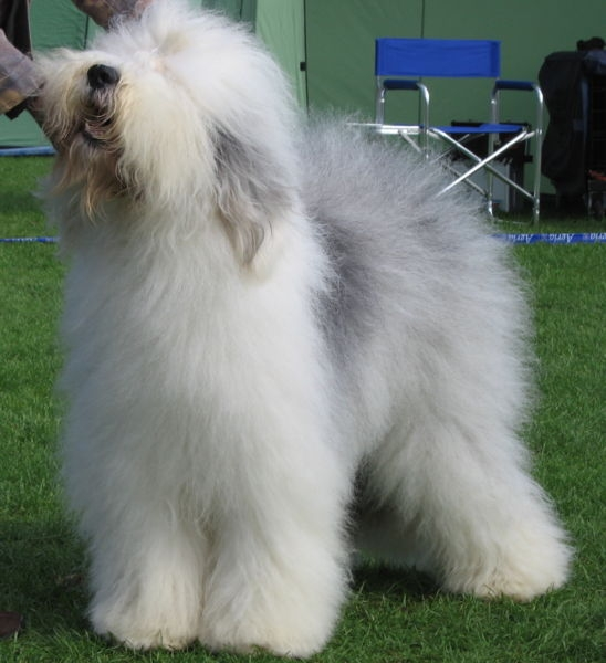 Old English sheepdog of Bobtail