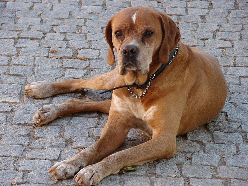 Perdigueiro português of Portugese pointer