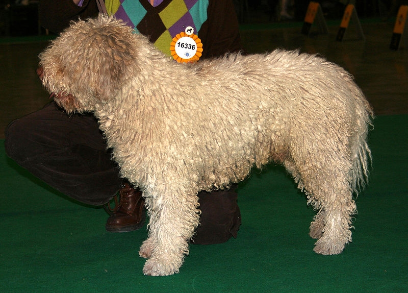 perro de agua español of spaanse waterhond | rassen | honden