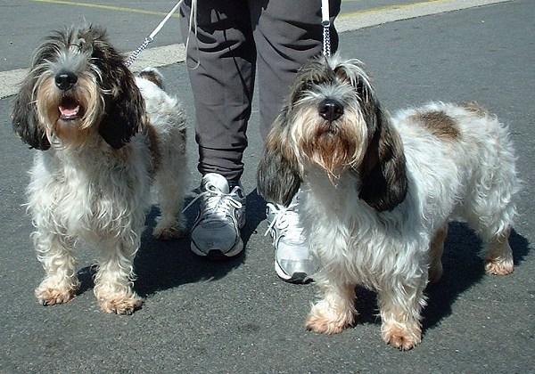 Subsectie kleine lopende honden rassen honden hondenrassen - Petit basset hound angers ...