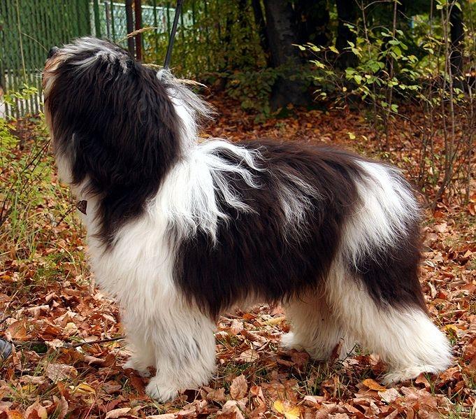 polski owczarek nizinny of poolse laaglandherder | rassen | honden