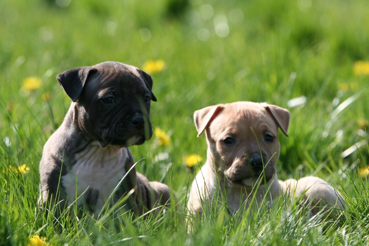 Amerikaanse Staffordshire terriër | Rassen | Honden & Hondenrassen