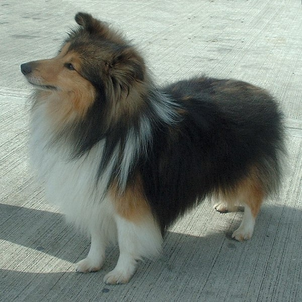 Shetlandsheepdog of Sheltie