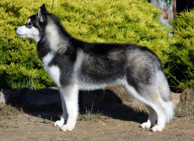 Siberische husky   Rassen   Honden & Hondenrassen