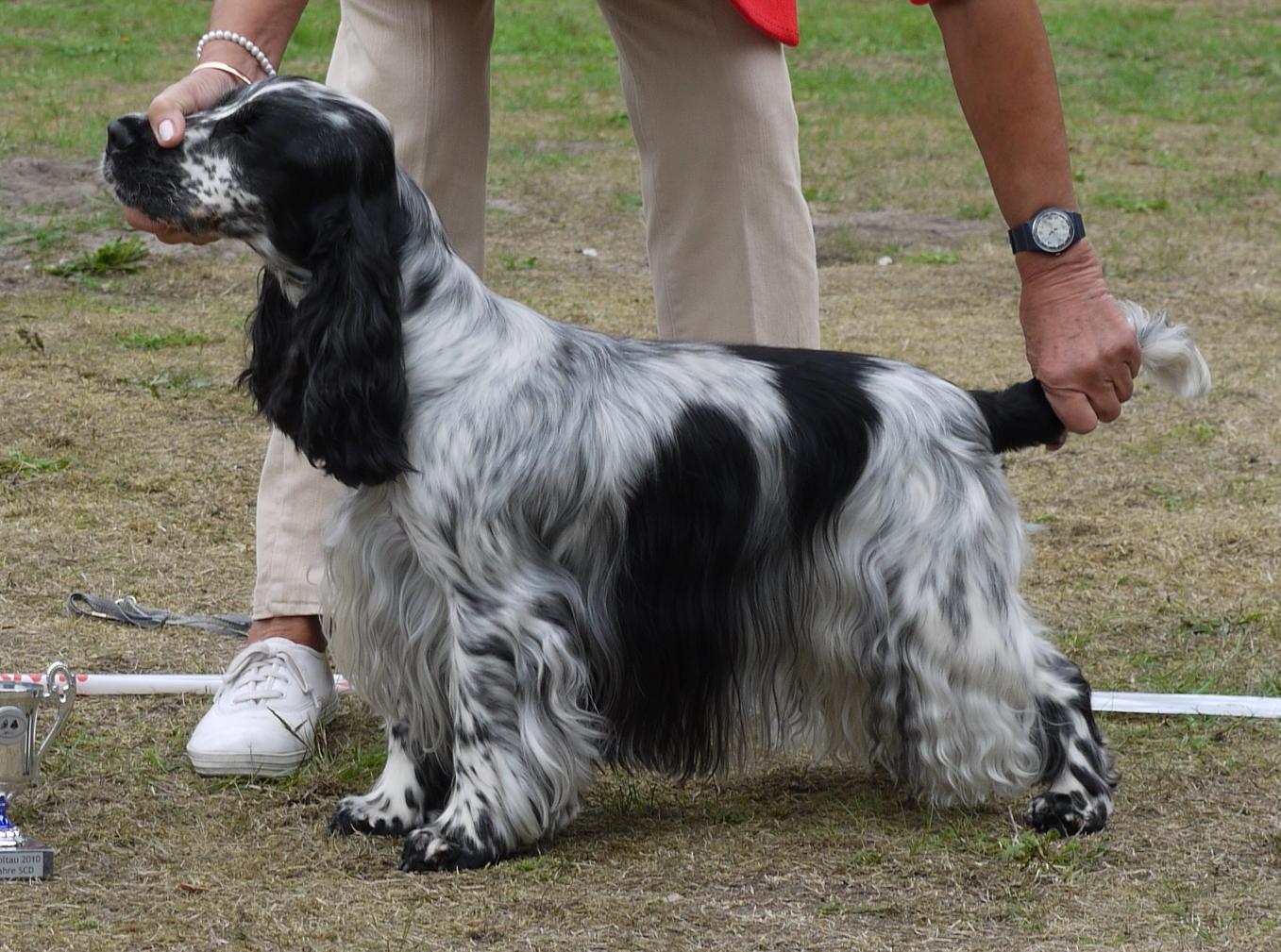 Cocker spaniel  Honden  2dehandsbe