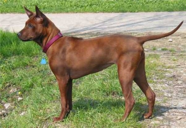 Thai ridgebackdog of Thaise pronkrug
