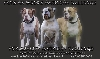 From the Frysian Woods American Bulldogs