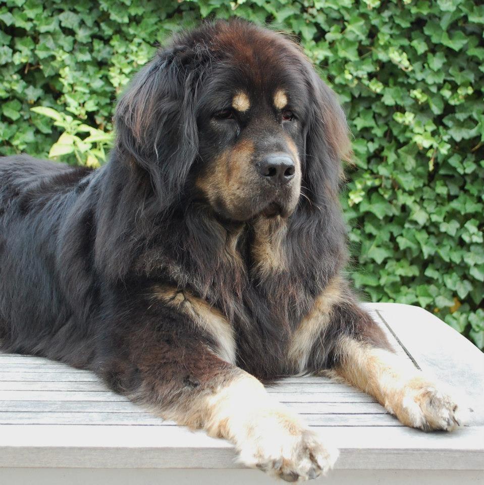 Tibetaanse Mastiff Of Do Khyi Rassen Honden Amp Hondenrassen